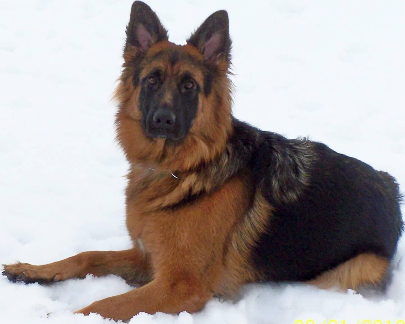 Fullsize Of German Shepherd Long Hair