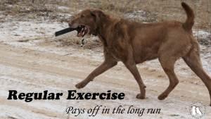 Chesapeake Bay Retriever Regular Exercise