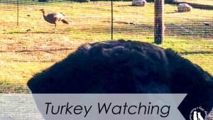 Turkey Watching