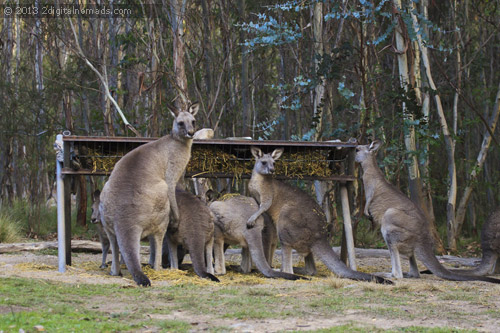 I told you, Kangaroos are everywhere
