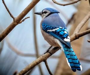 Birds of Barrington with Wendy Paulson: Bold & Blue
