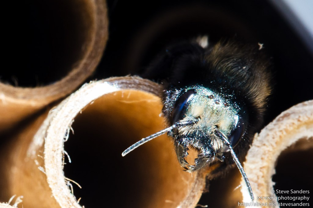 Female Blue Orchard Mason Bee