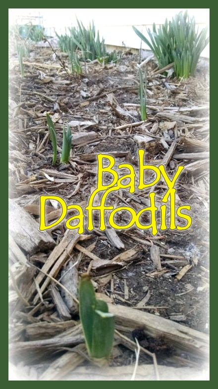 Transplanted Daffodil bulbs one year after planting
