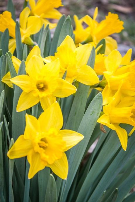 Dividing Daffodils