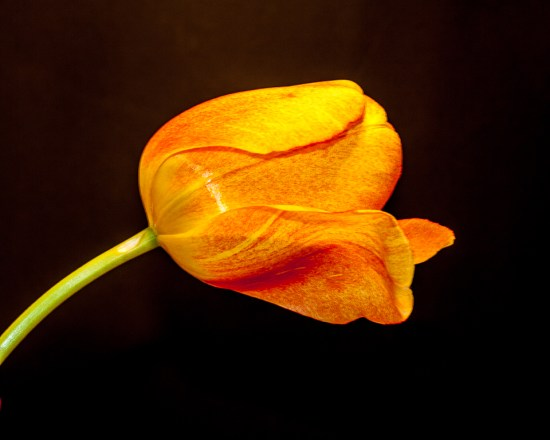 Single orange tulip