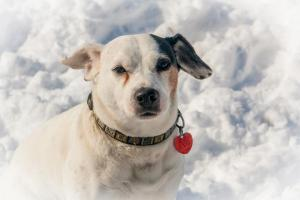 Our Jack Russell dog loves playing in the snow
