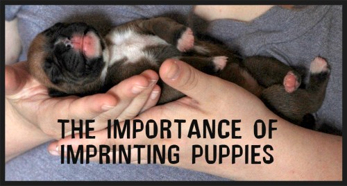 Puppy Imprinting and training