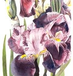 "Iris #2 7"" x 10"""