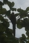Not a good picture, but this is one of the many scarlet macaws in Drakes Bay