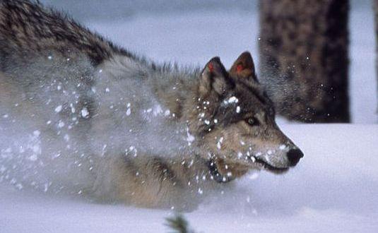 800px-WolfRunningInSnow