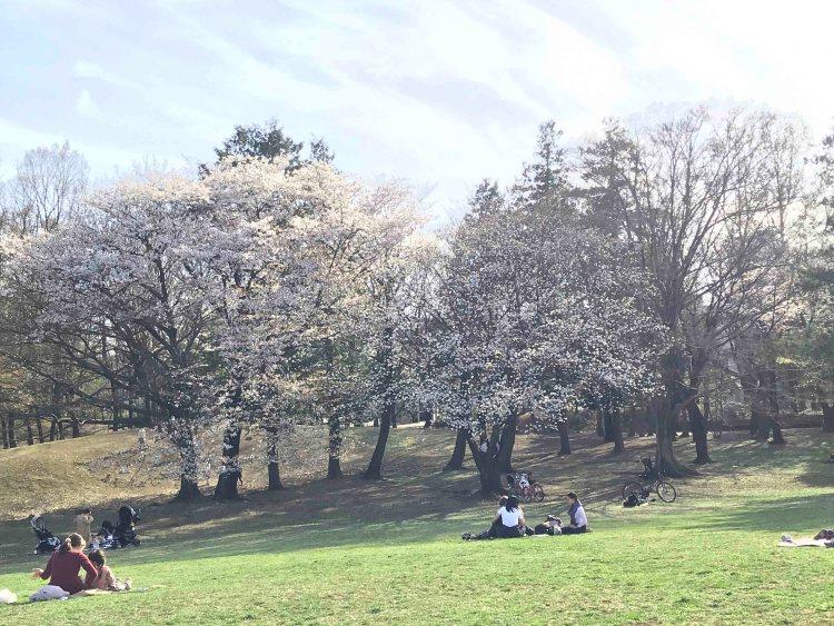 府中の森公園桜写真