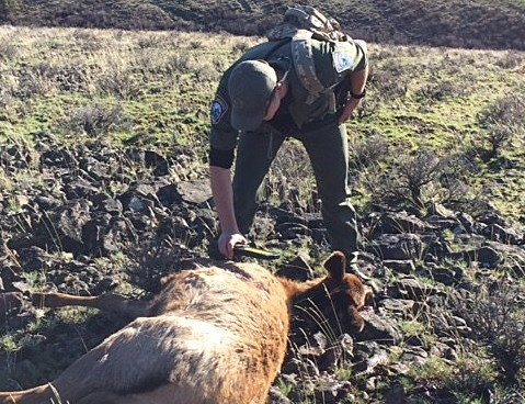 Wildlife officers investigate after illegal elk killings for Washington department of fish and wildlife