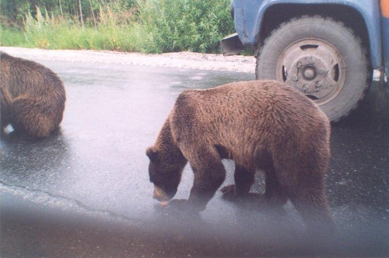 медведь Кола МЧС