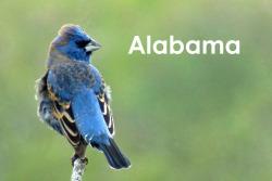 Auburn, Alabama. Where I studied nesting blue grosbeak living on the margins of cotton fields.
