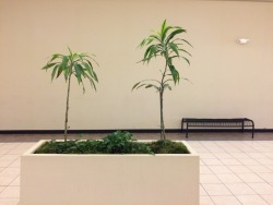 Indoor houseplants in the Lincoln Square Mall, Urbana, IL