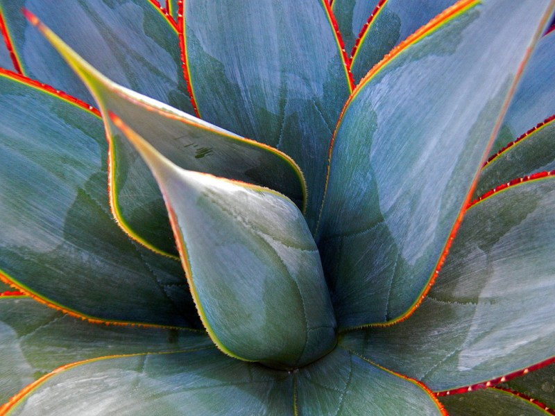 Large Of Agave Blue Glow
