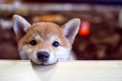 Small Of Baby Shiba Inu