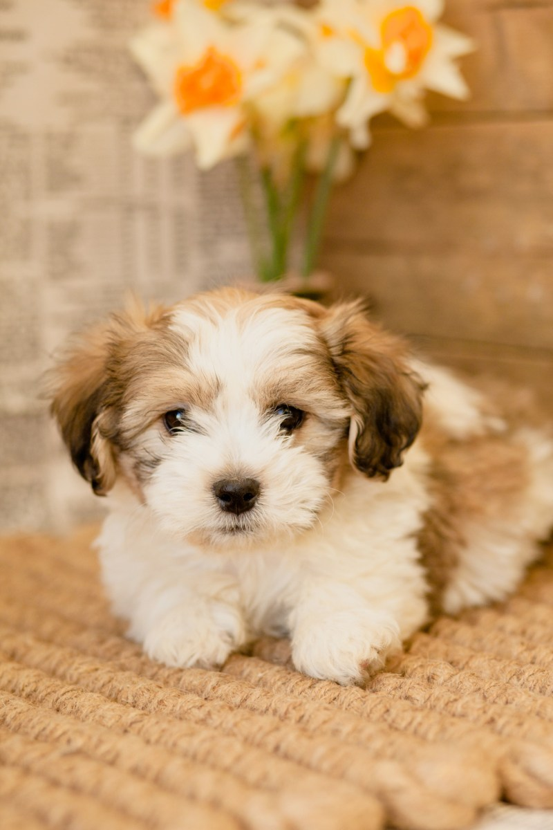Large Of Bulldog Shih Tzu Mix