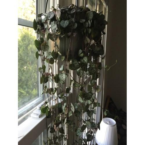 Medium Crop Of String Of Hearts Plant