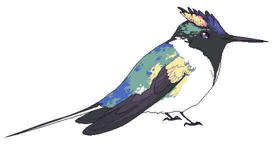 Bird of the Week  this week  horned sungem       Project Bird Empire Bird of the Week  this week  horned sungem patreon   twitter