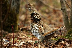 Here's a discussion about the mysterious missing grouse of south Jersey that I wrote about on my blog.