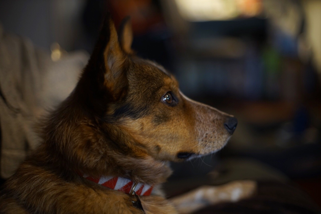Precious He Sheds Like Handsomedogs This Is My Handsome A Coyote Dog Mix Breed Coyote Dog Mix S This Is My Handsome A Cattle Heeler Extremely bark post Coyote Dog Mix