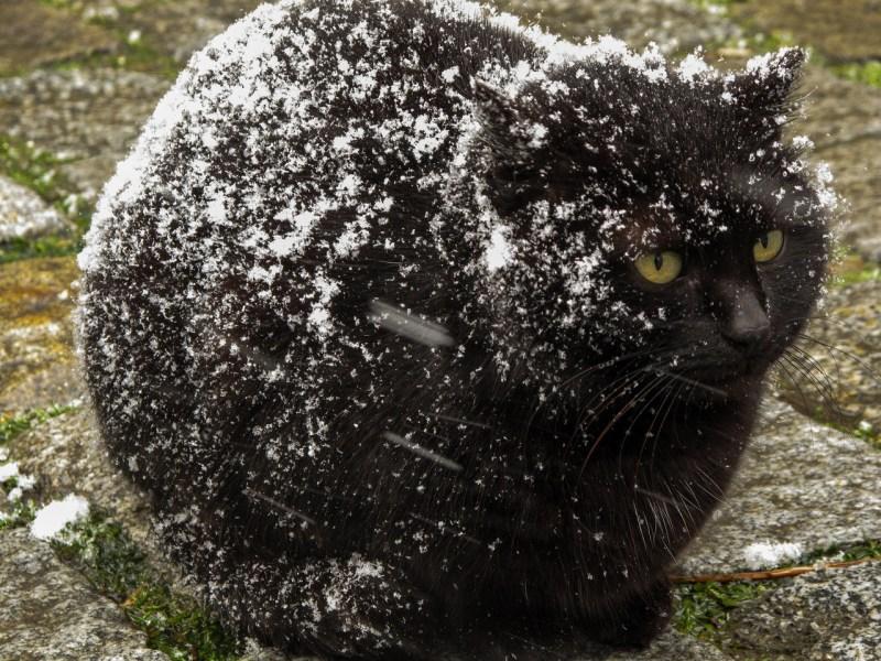 Large Of Cat Has Dandruff