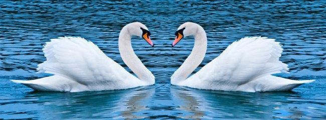 swan-love-Facebook-timeline