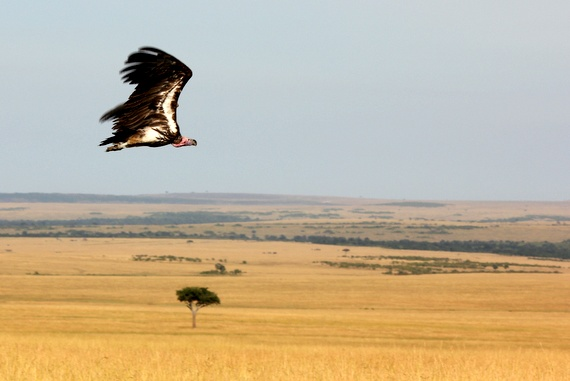 Vultures in the Masai Mara, Kenya