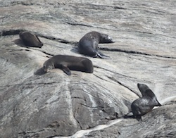 Fur seals on Doubtful Sound