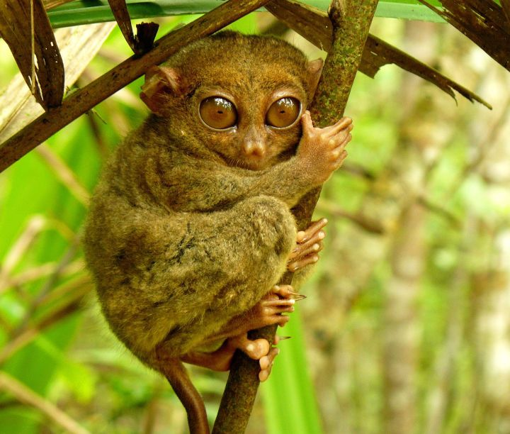 Tarsier (By yeowatzup from Katlenburg-Lindau, Germany (Tarsier Sanctuary, Corella, Bohol) [CC BY 2.0 (http://creativecommons.org/licenses/by/2.0)], via Wikimedia Commons)