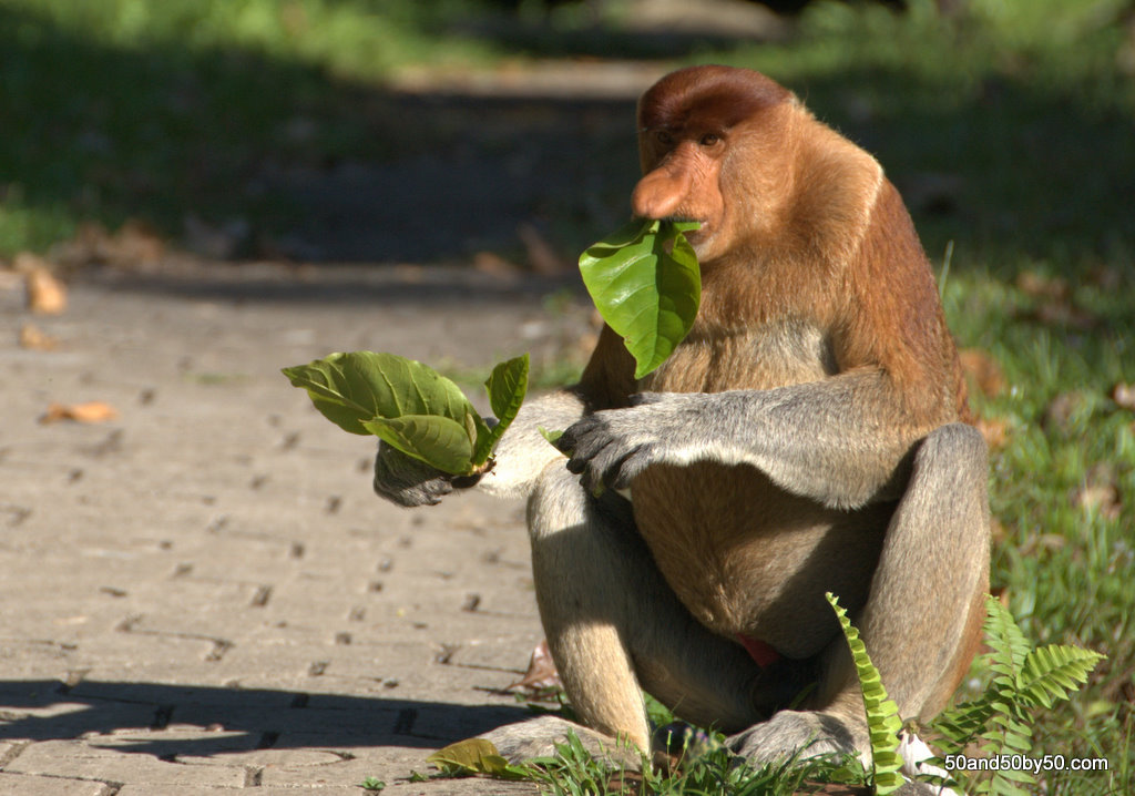 Up close with Borneo's Proboscis Monkey