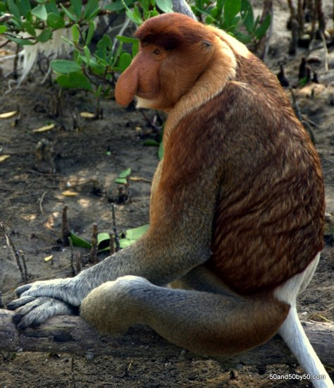 Proboscis monkeys, the most distinctive looking primates on the planet | Bako National Park in Borneo | Malaysia