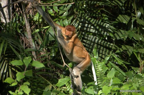Proboscis Monkey in Bako National Park, in Borneo, Sarawak, Malaysia