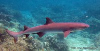 Reef shark - cue the Jaws music!
