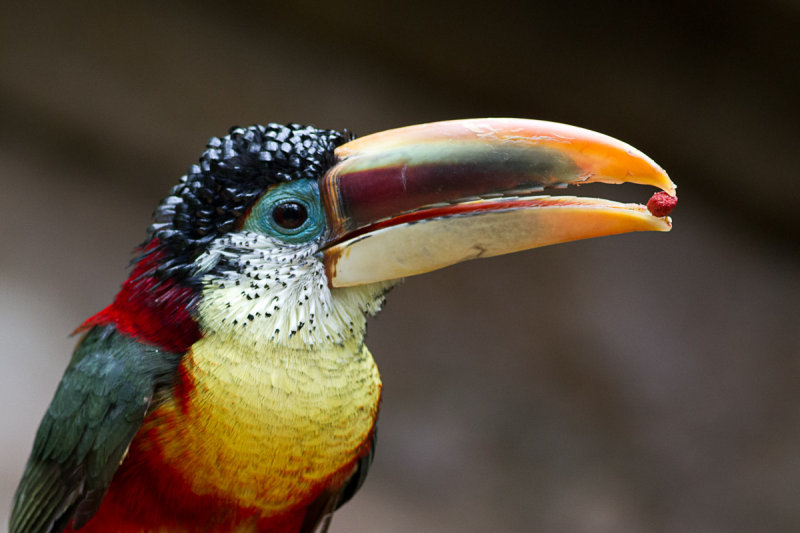 Curl crested Aracari photo   Rich Miller photos at pbase com Curl crested Aracari