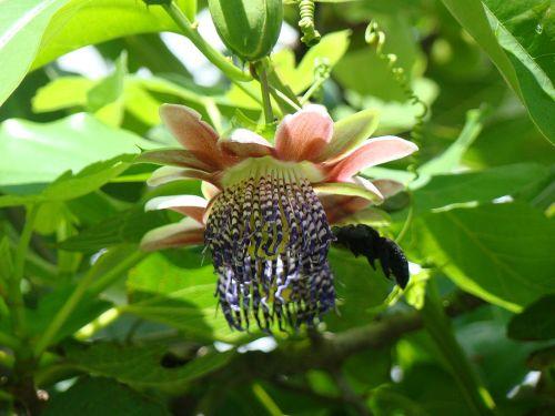 flor maracujá mamangava