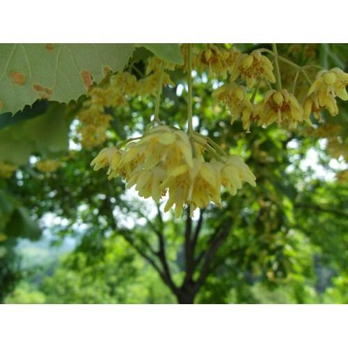 Medium Crop Of Linden Tree Smell