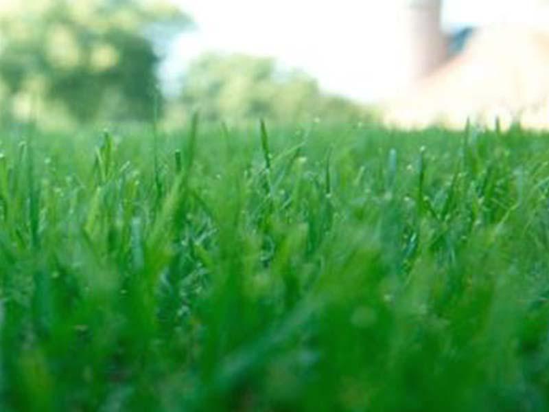 raygrass inglés
