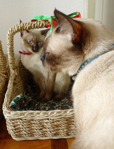 my-siamese-cats