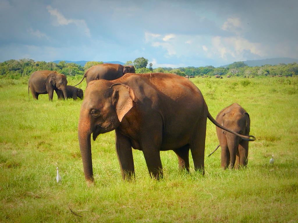 Sri Lanka | How seeing 100 elephants on safari broke my heart