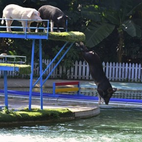 Accidental Funnies - Swimming Pigs in China? Yep!