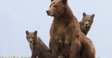 Sky looks for danger as her cubs huddle close