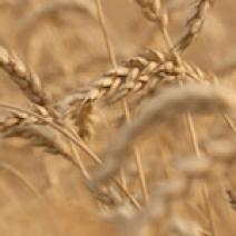 Aceite esencial de germen de trigo