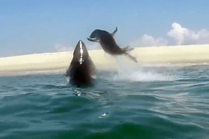 Watch Seal Narrowly Evade Great White Attack in Cape Cod