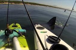 Great White Tests Kayak Anglers' Nerves
