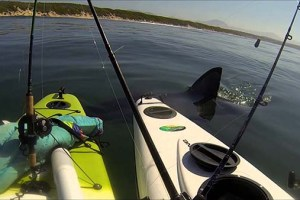Great White Tests Kayak Anglers' Nerves