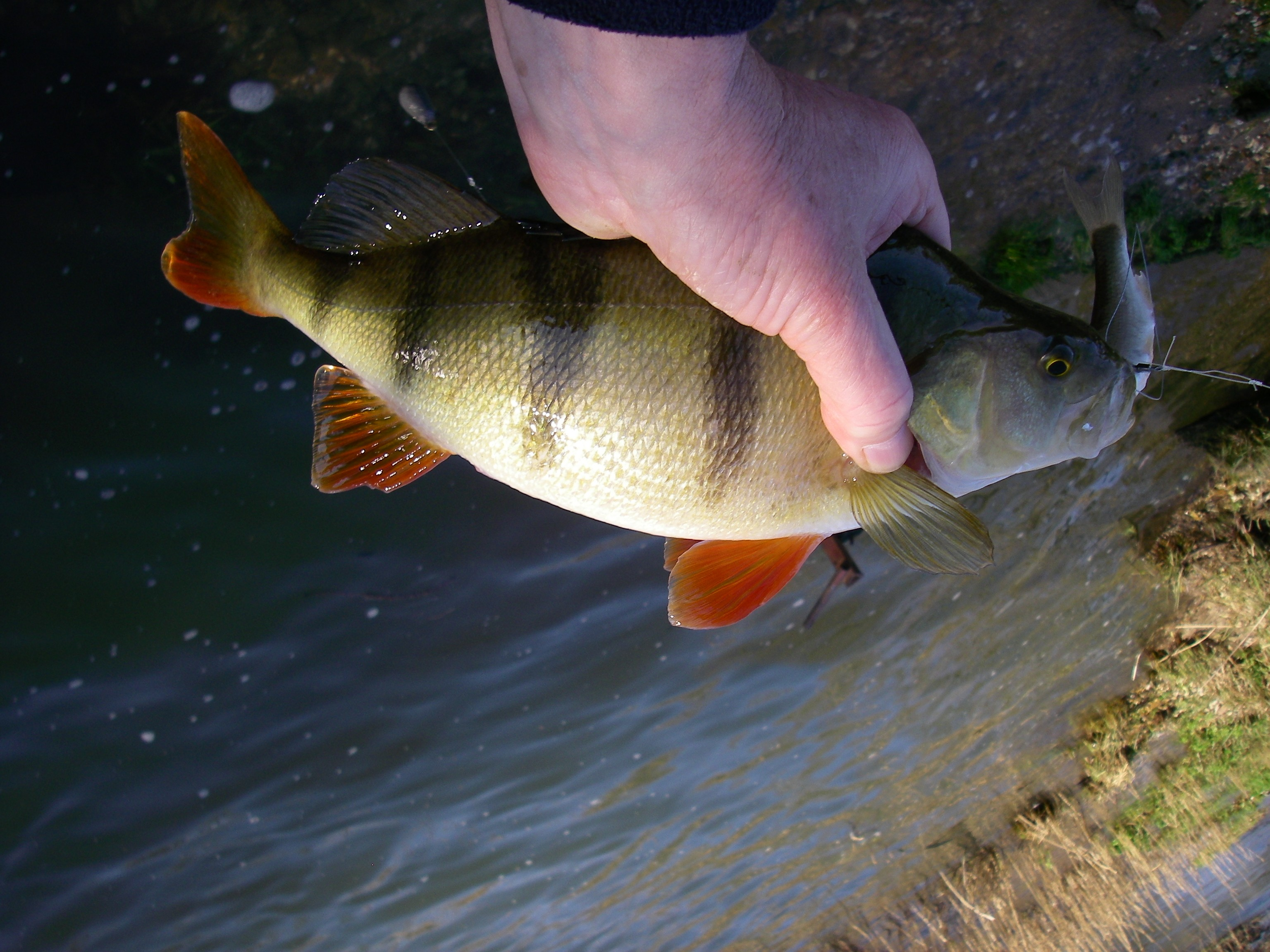 Perfect This Fish Preferred A Live What Do Perch Active Angling New Zealand How Long Do Fish Live Gfish How Long Do Fish Live From Fair houzz-02 How Long Do Fish Live