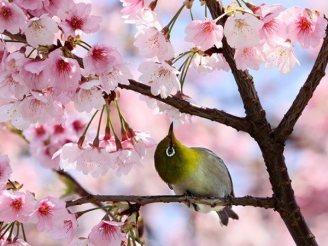cerisiers en fleur au Japon hanami - 04