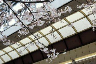 cerisiers en fleur au Japon hanami - 20